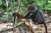 <p>Małpy dwie</p>