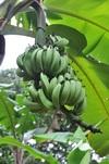 <p>Banany</p>