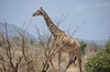 <p>Żyrafa</p>