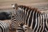 <p>Zebra</p>
